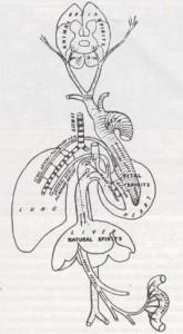 007 Sistema circolatorio galenico