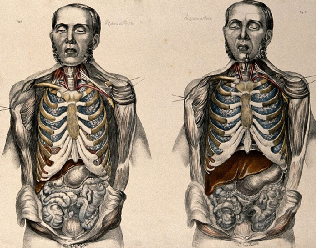 Medical Anatomy - Francis Sibson (1869) - 4-Figure4-1
