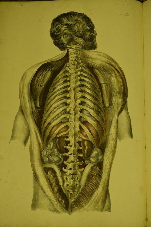 Medical Anatomy - tavola anatomica - (1869) by Francis Sibson